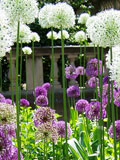Giant Allium Bulb Collection