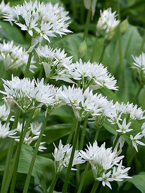Wild Garlic Bulbs 'In The Green' (Allium ursinum)