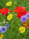 KMG9: Cornfield Annuals Wildflower Seeds Mixture