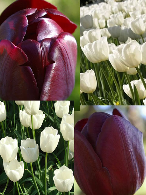 Black and White Tulip Bulb Collection