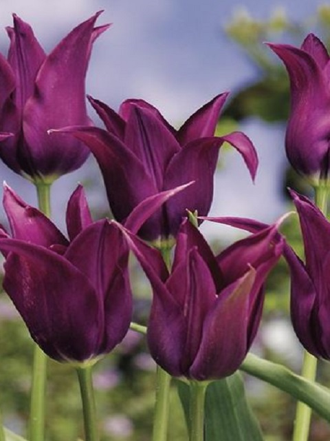 Burgundy Tulip Bulbs
