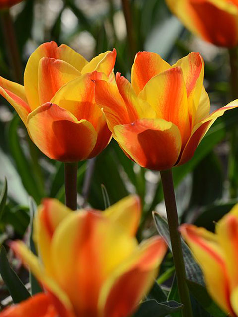 Cape Cod Tulip Bulbs