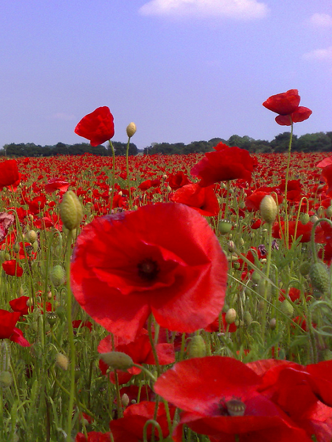 Commemorative Poppy Flower Mixture