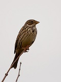 Finch and Corn Bunting (1 year)