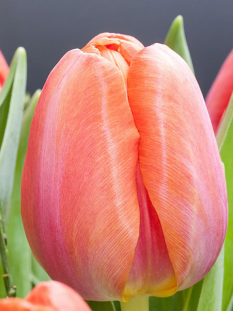 Don Quichotte Tulip Bulbs