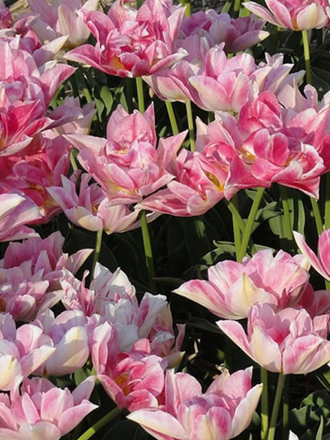 Foxtrot Tulip Bulbs