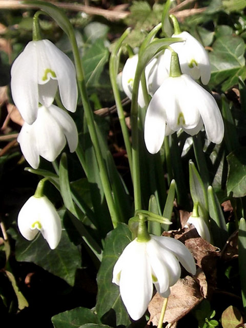 Double Snowdrop (Flore Pleno) Bulbs 'In The Green' (Galanthus nivalis f. pleniflorus)