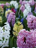 Mixed Hyacinth Bulbs (Bedding)