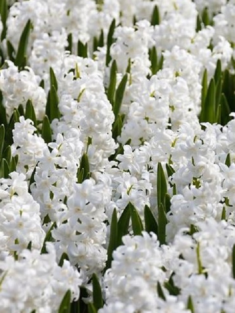Carnegie White Hyacinth Bulbs (Bedding)