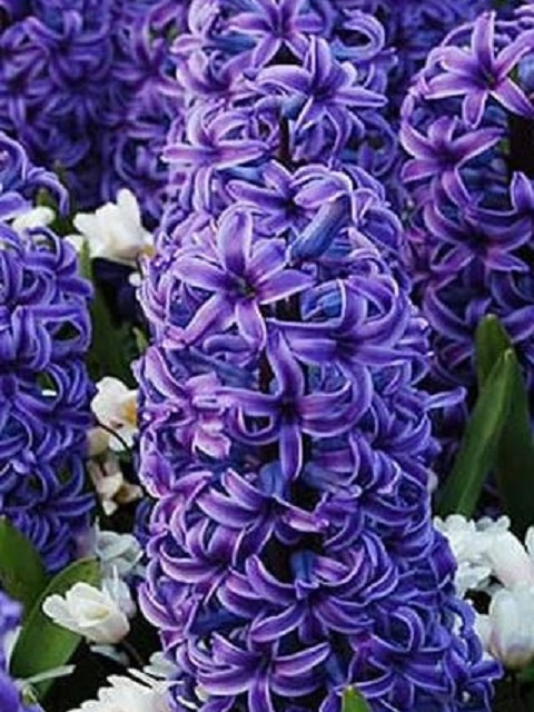 Blue Jacket Hyacinth Bulbs (Bedding)