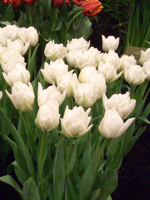 Ice Wonder Tulip Bulbs