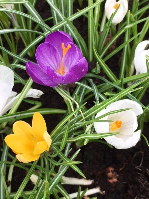 Large Flowered Mixed Crocus Bulbs 'In The Green'