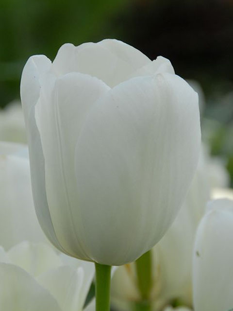 Maureen Tulip Bulbs