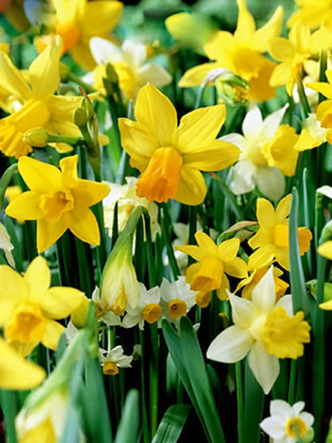 Mixed Dwarf Narcissi Bulbs