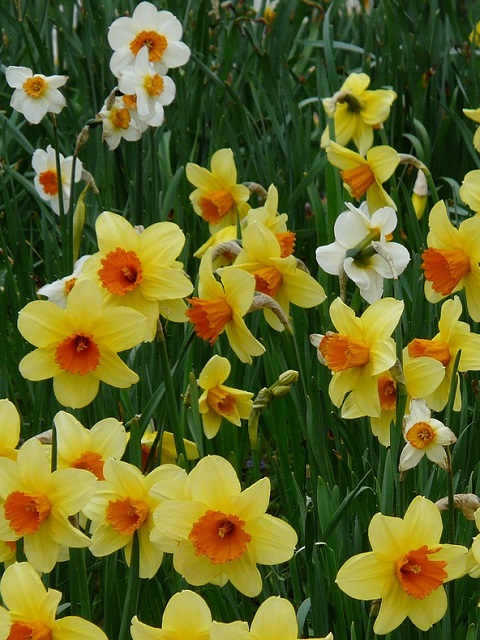 Mixed Daffodil & Narcissi Bulbs - Loose