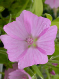 Mallow, Musk (Malva moschata) Seeds