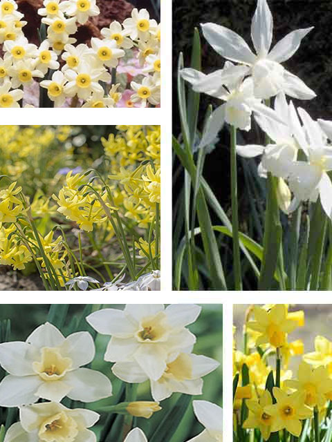 Dwarf Narcissi Bulb Collection