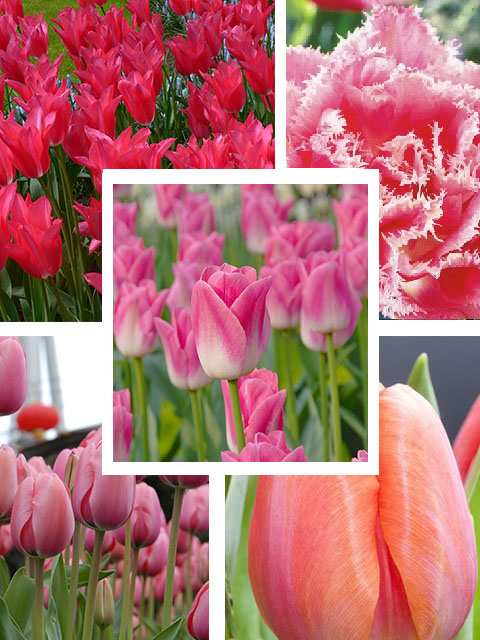 Hot Pink Tulip Bulb Collection
