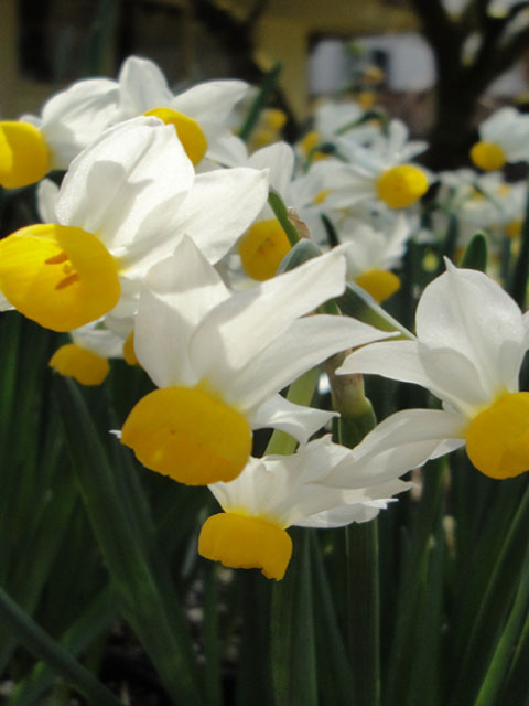 Canaliculatus Narcissi Bulbs
