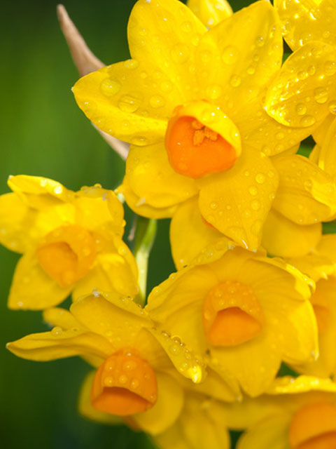 Soleil D'Or Narcissi Bulbs - NEXT DAY Delivery