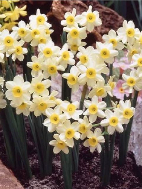 Minnow Narcissi Bulbs