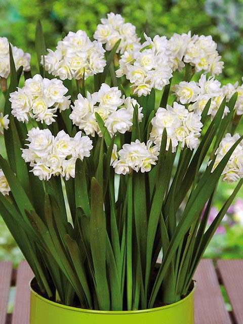 Erlicheer Narcissi Bulbs - NEXT DAY Delivery