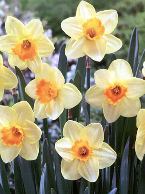Lothario Narcissi Bulbs - NEXT DAY Delivery