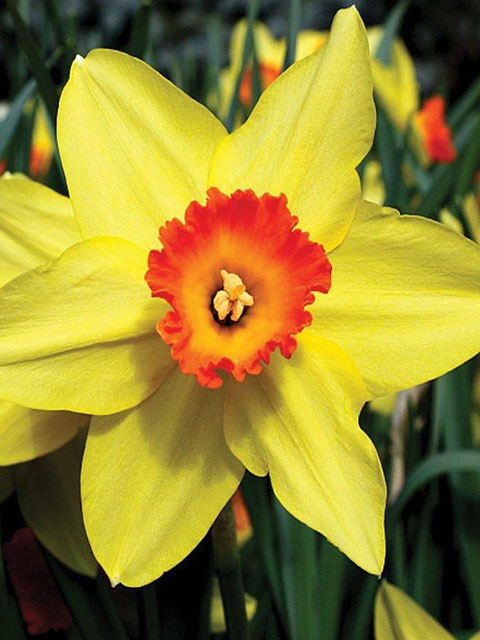 Red Devon Narcissi Bulbs - NEXT DAY Delivery