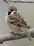 Tree Sparrow Mixture (1 to 2 year)