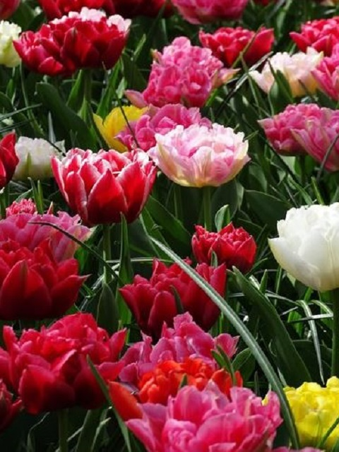 Mixed Double Tulip Bulbs