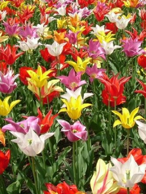 Mixed Lily Flowering Tulip Bulbs