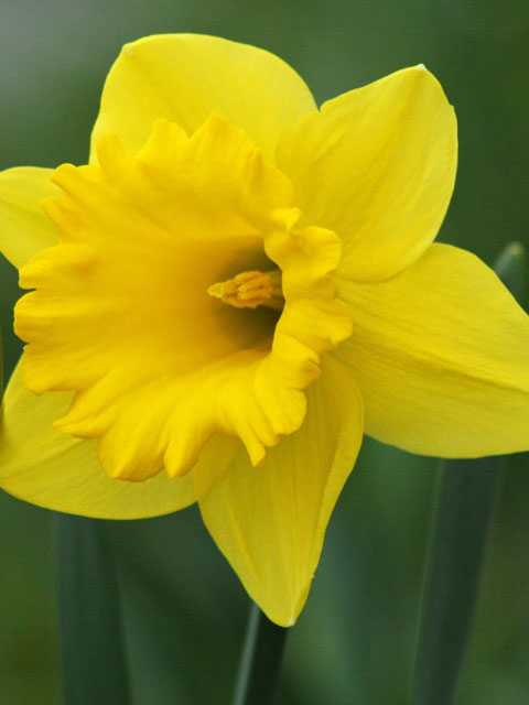 Unsurpassable Daffodil Bulbs - Loose