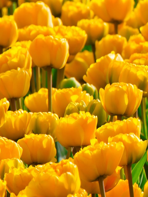 Yellow Pomponette Tulip Bulbs