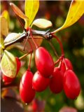 Barberry (Berberis thunbergii)