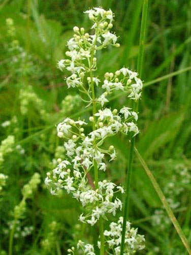 Bedstraw, Hedge (Galium mollugo) Seeds