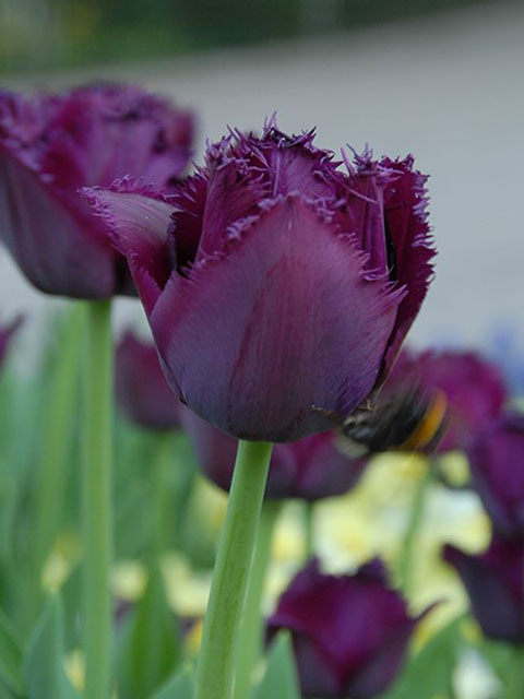 Curly Sue Tulip Bulbs