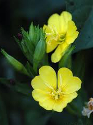 Evening-primrose (Oenothera biennis) Seeds