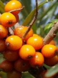 Sea Blackthorn (Hippophae rhamnoides)