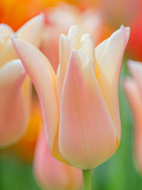 Sanne Tulip Bulbs