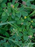 Black Medick (Medicago lupulina) Seeds