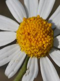 Chamomile, Corn (Anthemis arvensis) Seeds