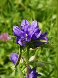 Bellflower, Clustered (Campanula glomerata) Plant