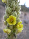 Mullein, Great (Verbascum thapsus) Seeds