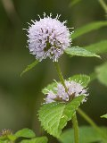 Mint, Water (Mentha aquatica) Seeds