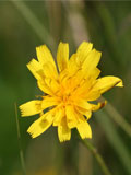 Hawkbit, Autumn (Leontodon autumnalis) Seeds