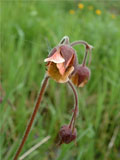 Avens, Water (Geum rivale) Plant