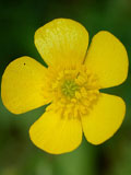 Buttercup, Meadow (Ranunculus acris) Plant