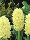 Hyacinth Bulbs- Bedding, Yellow