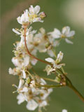 Dropwort (Filipendula vulgaris) Seeds