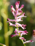 Fumitory (Fumaria officinalis) Seeds